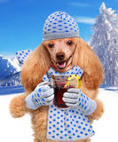 Dog holding in the paws of mulled wine. Stock Photos