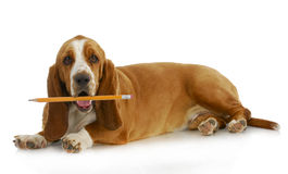 Dog holding pencil Stock Image