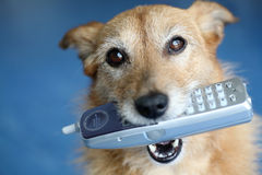 Dog holding a phone in her mouth stock photography