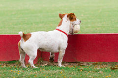 Dog holding polo ball Royalty Free Stock Photos
