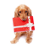 The dog is holding a present Stock Photography