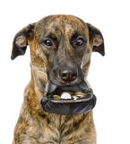 Dog holding a purse with coins in its mouth. isolated on white Royalty Free Stock Images