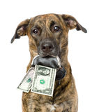 Dog holding a purse with dollars in its mouth. isolated on white Stock Image