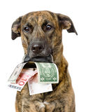 Dog holding a purse with money in its mouth. isolated Stock Image