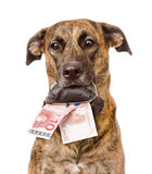 Dog holding a purse with money in its mouth. isolated Stock Photos