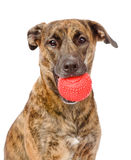 Dog holding red ball. isolated on white background.  royalty free stock images