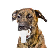 Dog holding a roll of toilet paper in his mouth. isolated on white Royalty Free Stock Images