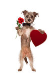 Dog Holding Rose and Heart Box of Chocolates. A cute mixed terrier breed dog wearing a black bow tie standing up against a white backdrop while carrying a single Royalty Free Stock Image
