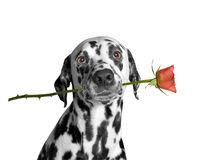 Dog holding a rose in his mouth Stock Images