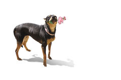 Dog holding a rose in his mouth Royalty Free Stock Photos