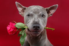Dog holding rose in mouth. Beautiful blue thai ridgeback male dog holding pink rose in mouth. ctudio shot over red background. copyspace Stock Photos