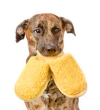 Dog holding a slippers in mouth. isolated on white background Royalty Free Stock Photography