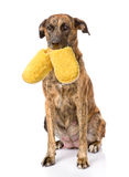 Dog holding a slippers in mouth.  on white background Royalty Free Stock Image