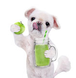 Dog holding smoothie in a mug . royalty free stock images
