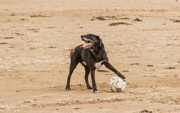 Dog holding a soccer ball at the beach side royalty free stock photos
