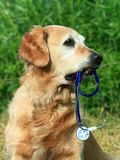 Dog holding stethoscope. Dog with stethoscope on garden Royalty Free Stock Image