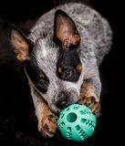 Dog holding on to a blue ball Royalty Free Stock Image