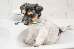 Dog holding toothbrush in bathroom - jack russell terrier stock photography