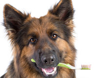 Dog holding toothbrush in mouth isolated. Dog holding toothbrush as dental hygiene concept stock photo