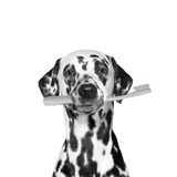 Dog holding a toothbrush Stock Photos