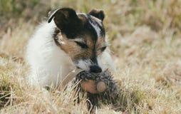Dog Holding Toy Stock Photography