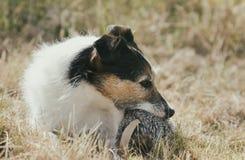 Dog Holding Toy Royalty Free Stock Photo