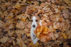 Dog holds autumn leaves in its paws. Autumn mood. Pet in the park . Happy Jack Russell Terrier. Dog holds autumn leaves in its paws. Autumn mood. Pet in the park royalty free stock images