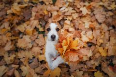 Dog holds autumn leaves in its paws. Autumn mood. Pet in the park . Happy Jack Russell Terrier. Dog holds autumn leaves in its paws. Autumn mood. Pet in the park royalty free stock photos