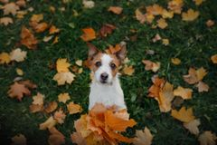 Dog holds autumn leaves in its paws. Autumn mood. Pet in the park . Happy Jack Russell Terrier. Dog holds autumn leaves in its paws. Autumn mood. Pet in the park stock image