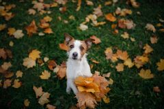 Dog holds autumn leaves in its paws. Autumn mood. Pet in the park . Happy Jack Russell Terrier. Dog holds autumn leaves in its paws. Autumn mood. Pet in the park royalty free stock photography