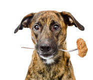 Dog holds in mouth a fork with a cutlet. isolated on white Stock Images