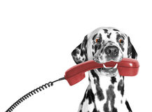 The dog holds the phone in its mouth. Somebody calls Royalty Free Stock Photos