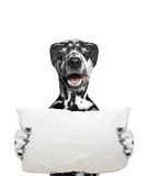Dog holds a pillow and going to sleep Royalty Free Stock Images