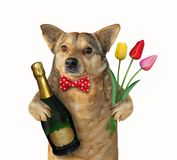 Dog holds wine and tulips royalty free stock image