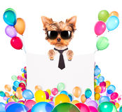 Dog with Holiday banner and colorful balloons Royalty Free Stock Photo