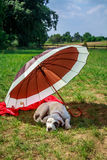 Dog on holiday. Dog lying under an umbrella, vacation with dog Royalty Free Stock Images