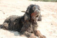Dog holiday sand mud fun Pets. Holiday sand mud fun Pets bathing active lifestyle humor dog coat look black Gordon setter Scottish plays Stock Photos