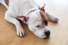 Dog at home Stock Image