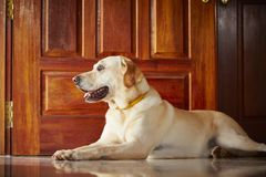 Dog at home Stock Photography