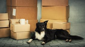 Dog home move royalty free stock photography