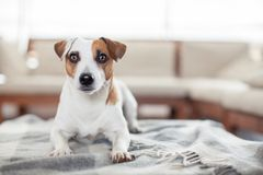 Dog at home Royalty Free Stock Photo