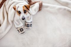 Dog at home. Dog under a plaid. Pet warms under a blanket in cold autumn weather. Puppy in slippers royalty free stock images