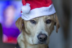 Dog with a santa claus hat royalty free stock photography