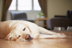 Dog at home Royalty Free Stock Image