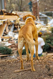 Dog. Homeless dog looking at residential tornado destruction. Motion blur on his tail. Focus on back side or tail end of dog Royalty Free Stock Photos