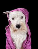 Dog in a hood. Miniature schnauzer dog in a hood Royalty Free Stock Image