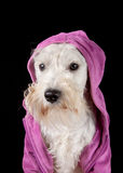 Dog in a hood. Miniature schnauzer dog in a hood Royalty Free Stock Photography