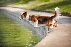 Dog hopp för kantcollien in i vattnet Arkivfoto