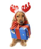 Dog with horns gives a gift Stock Photos