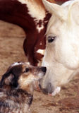 Dog and Horse. Australian shepherd ranch dog sitting with horses, touching noses with palomino filly, paint filly in background Royalty Free Stock Photo